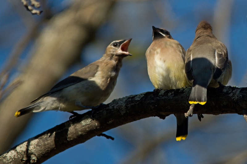 Cedar Waxwings are abundant throughout the banding area right now.         -B. McCreadie