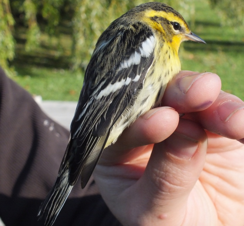 A surprisingly late Blackburnian Warbler - but always a treat.