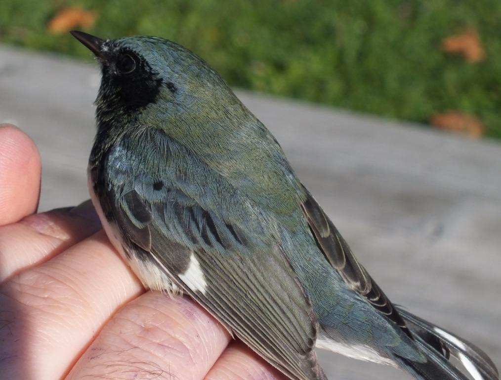 Another late treat: a young (HY) male Black-throated Blue Warbler