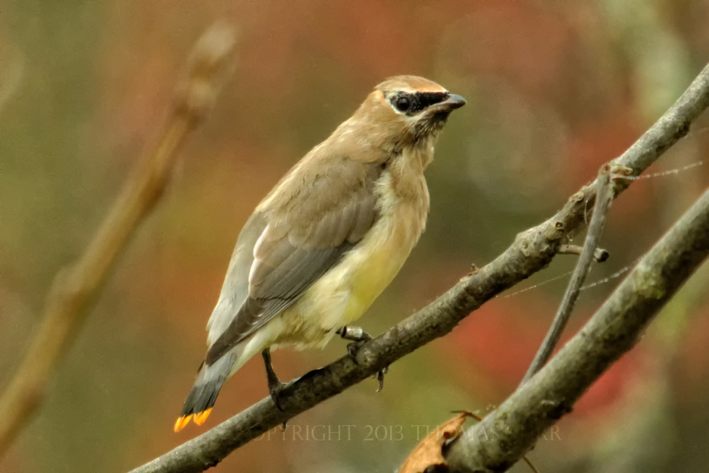 One of our recently-banded Cedar Waxwings.              -T. Stirr