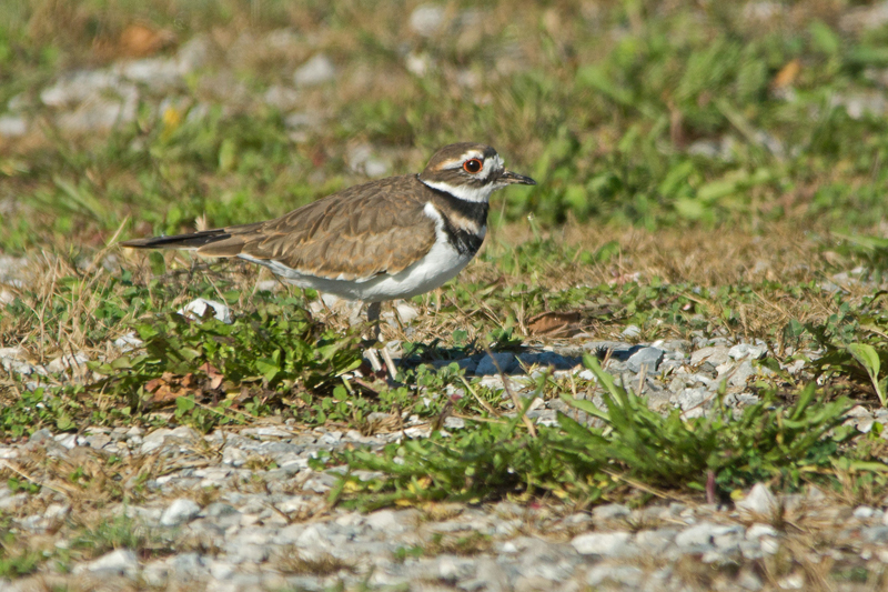 A pair of Killdeer have been hanging around the parking lot for some time now....possibly staking out the territory for next year.   -B. McCreadie