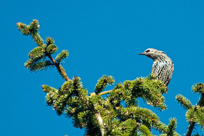 Large flocks of European Starlings dot the local countryside.                     -B. McCreadie