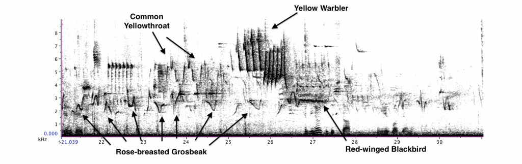 Excerpt from Cole's recording with Rose-breasted Grosbeak, Common Yellowthroat, Yellow Warbler, and Red-winged Blackbird