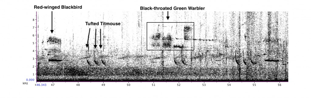 Excerpt from Evan's recording - Red-winged Blackbird, Tufted Titmouse, and Black-throated Green Warbler