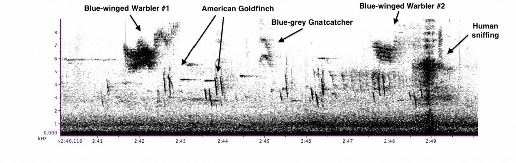 Gabrielle - Countersinging Blue-winged Warblers, American Goldfinch flight calls, Blue-grey Gnatcatcher