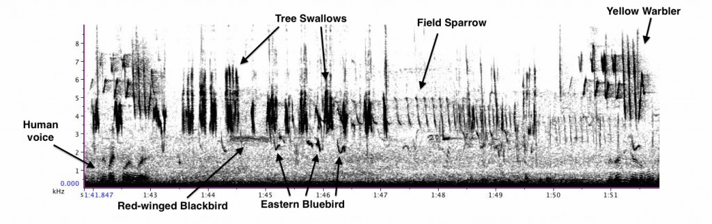 Jacqueline - excerpt including Tree Swallow, Eastern Bluebird, Red-winged Blackbird, Field Sparrow, and Yellow Warbler